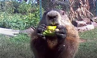 This Man Got Tired of Groundhogs Stealing From His Garden...