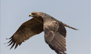This Stunning Bird of Prey Video Will Leave You in Awe!