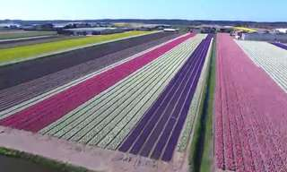 These Dutch Tulip Fields Will Take Your Breath Away