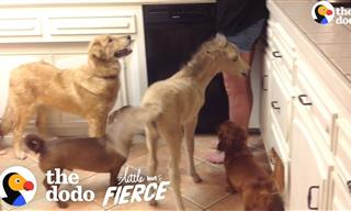 Cute Corner: Tiny Mini-Horse Grows Up Thinking It's a Dog