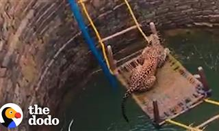 People Unite to Save a Leopard Trapped in a Well