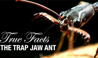 Funny Nature: Learning About Trap Jaw Ants