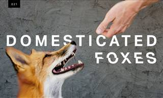 Domesticated Foxes: The Truth About the New Species