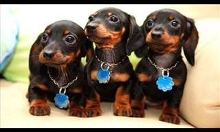 Hilarious Video Compilation of Dachshund Dogs