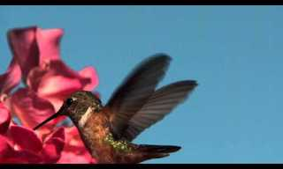 Nature's Engineering: The Hummingbird's Tongue