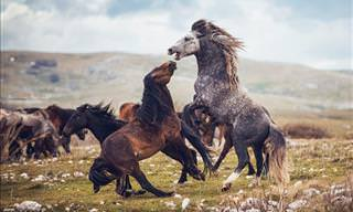 Breathtaking Photos of Wild Horses