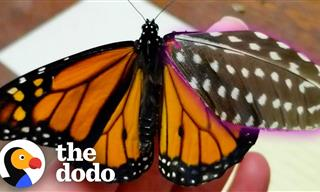 Woman Repairs a Butterfly's Wing With a Feather - Wow!