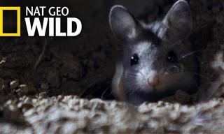 The Grasshopper Mouse: A Hunter Extraordinaire