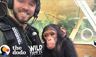 Mussa the Adorable Baby Chimp Gets a Second Chance at Life
