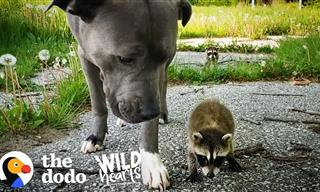 Cute Corner: These Baby Racoons Adopted a Bizarre Mother!