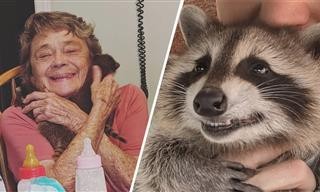 Did You Know That Raccoons Can Purr?