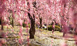 The Beauty of Cherry Blossoms Captured Around the World