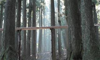 Giant Forest Xylophone in Japan Plays Bach's Cantata 147
