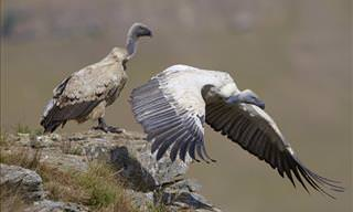 How Vultures Can Help Solve Crime
