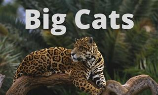Quiz: What Do You Know About Big Cats?
