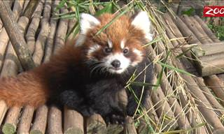 Cute Overload: A Day With Red Panda Cubs