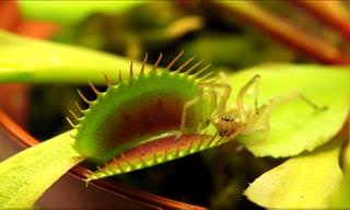 Spectacular Carnivorous Plants in Action