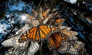 The Migration of the Monarch Butterflies