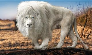 Have You Heard of These Unusual Types of Lions?