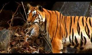 Rare Nature: Wild Tiger Cubs Caught on Film!
