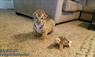 Watch The Cutest Little Baby Tigers...