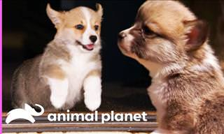 Watch These Adorable Corgi Pups as They Discover the World!