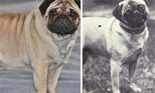 Then & Now: How Popular Dog Breeds Looked Like 100 Years Ago