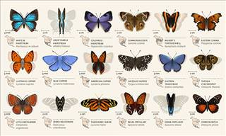 42 Animations of North American Butterflies