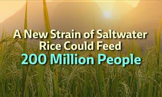 A Fantastic New Strain of Rice