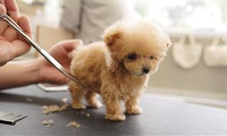 Tiny Dog Getting Groomed