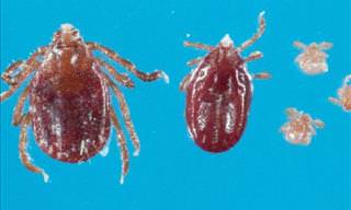 New Ticks Invading the United States