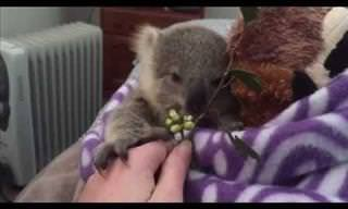 I Can't Look At Koala Babies Without Grinning!