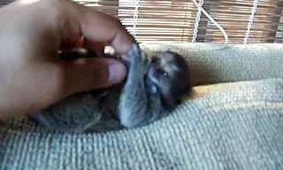 The Pygmy Marmosets - Finger-Sized Monkeys!