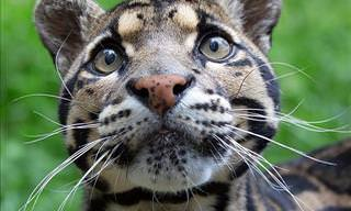 10 Incredibly Beautiful and Rare Wild Cats