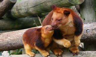 Tree-Kangaroos Are Just Too Cute!