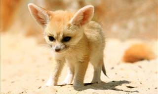 Five Fun Fennec Fox Facts