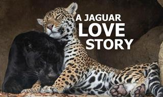These Two Big Cats Star in the Most Amazing Love Story
