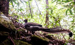 The Amazing Sounds of the Lyrebird