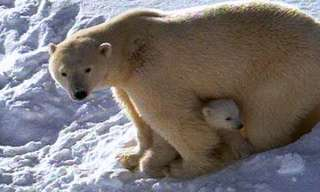 The Joyful Side of a Polar Bear - Fascinating!