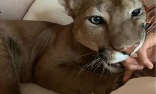 What It's Like Waking Up With a Puma in Your Bed