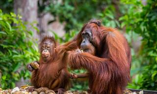 Take an Intimate Look at the Secret Life of Orangutans