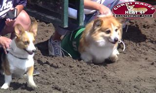 Prepare For the Competitive Cuteness of Corgi Racing!
