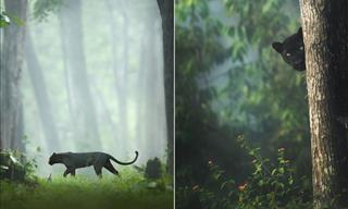 Marvel at a Loner Black Panther Roaming the Jungle