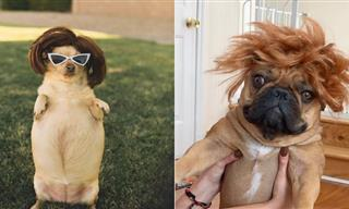 15 Hilarious Pictures of Dogs Sporting a Wig