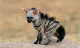 Aardwolves Are Just Unbelievably Cute!
