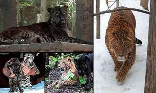 Explaining Big Cat Hybrids