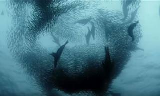Watch: Sardine Feeding Frenzy