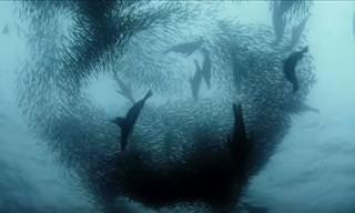 Watch: Sardine Feeding Frenzy