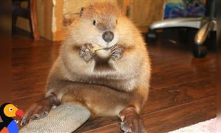 Baby Beaver's Favorite Hobby Is Building Dams in the House