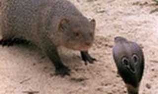 Ultimate Enemies - Mongoose vs Cobra!